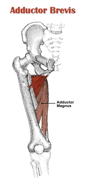 Adductor Brevis Anatomy