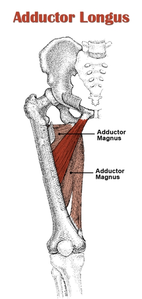 Adductor Longus Anatomy