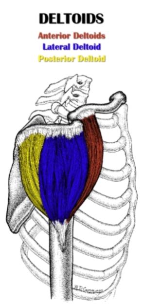 Deltoid Anatomy