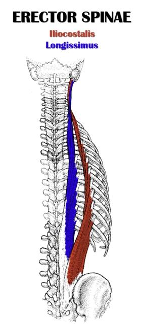 Erector Spinae Anatomy