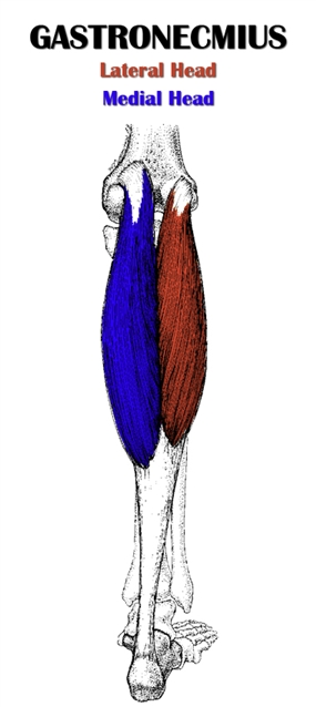 The Definitive Guide to Gastrocnemius Anatomy, Exercises ...