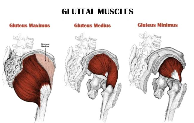 Gluteal Muscle Breakdown Diagram - Block And Schematic Diagrams •