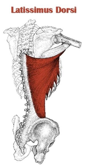 The Definitive Guide To Latissimus Dorsi Anatomy