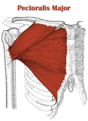 Pectoralis major anatomy