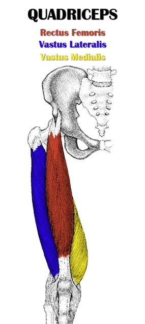 quadriceps muscles diagram - photo #3
