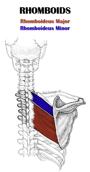 Rhomboid Anatomy