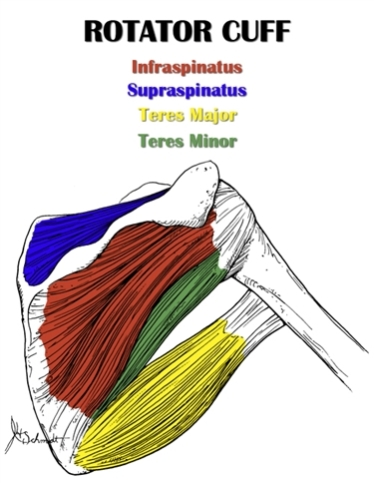 Shoulder Anatomy All About The Shoulder Muscles
