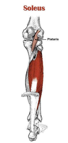 The Definitive Guide To Soleus Anatomy Exercises Rehab