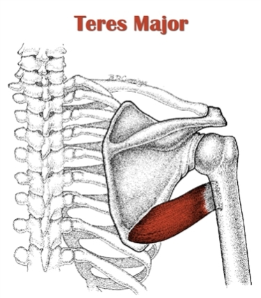Teres Major Anatomy