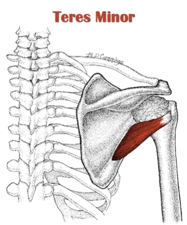 The Definitive Guide to Teres Minor Anatomy, Exercises & Rehab