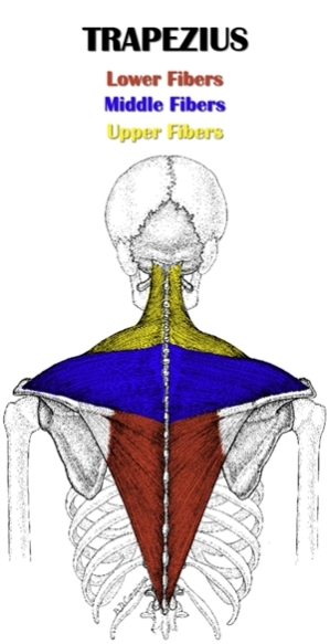 The Definitive Guide To Middle Trapezius Anatomy