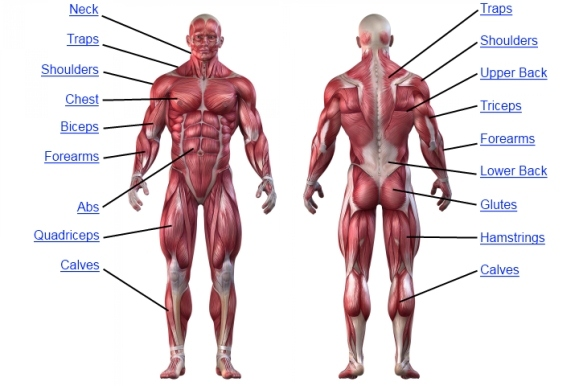 muscle-anatomy-chart jpgAnatomy Of Human Body Muscles