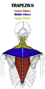 lower trapezius fibers