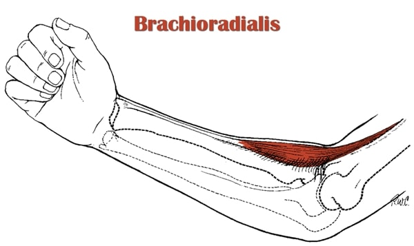 Brachioradialis on muscle pain location diagram