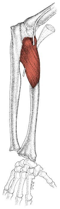 the definitive guide to pronator teres anatomy, exercises & rehab, Human Body